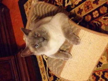 lost cat Poplar Tent Apartments & Browse | Concord u0026 Greater Cabarrus Humane Society